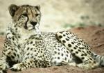 Cheetahs 02 lowres