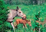 Moose 07 lowres
