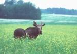 Moose 20 lowres